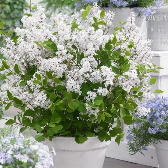 Sortiment Zwerg-Duftflieder Flowerfesta®, im ca. 19 cm-Topf | #3