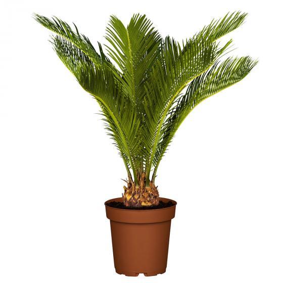 Palmfarn | #3