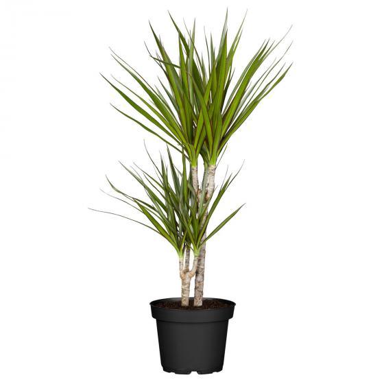 Drachenbaum Marginata, 2er Tuff, im ca. 17 cm-Topf | #3