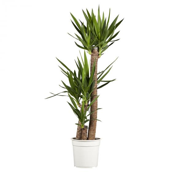Riesen Palmlilie 3er Tuff | #3