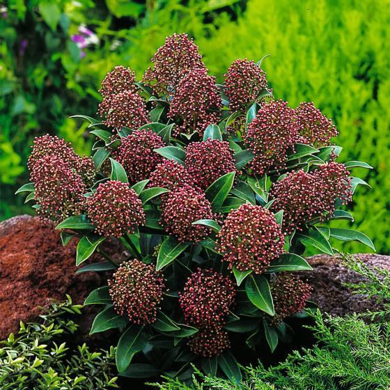 Japanische Blütenskimmie Rubella, im ca. 13 cm-Topf | #3