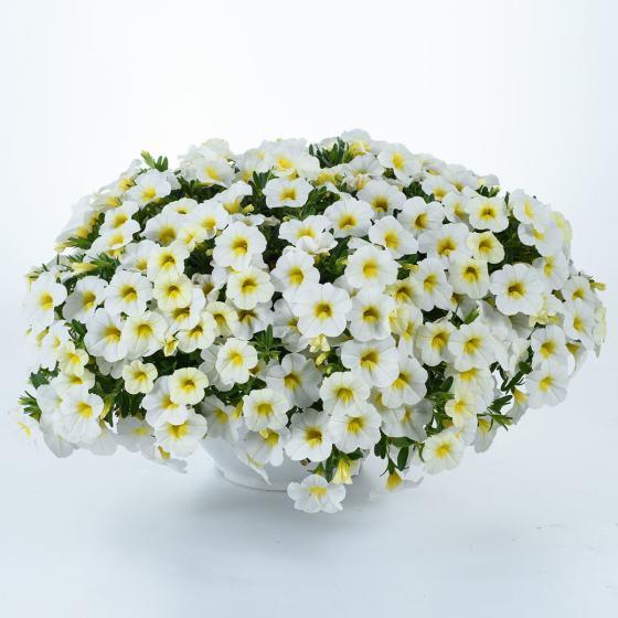 Weißes Zauberglöckchen, im ca. 12 cm-Topf | #3