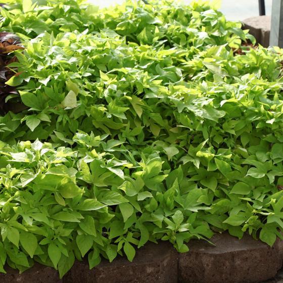 Kiwigrüne Blattschmuck-Ipomoea, im ca. 12 cm-Topf | #3