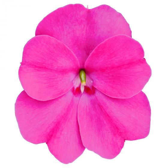 Fleißiges-Lieschen Sunpation Lilac, im ca. 12 cm-Topf | #3