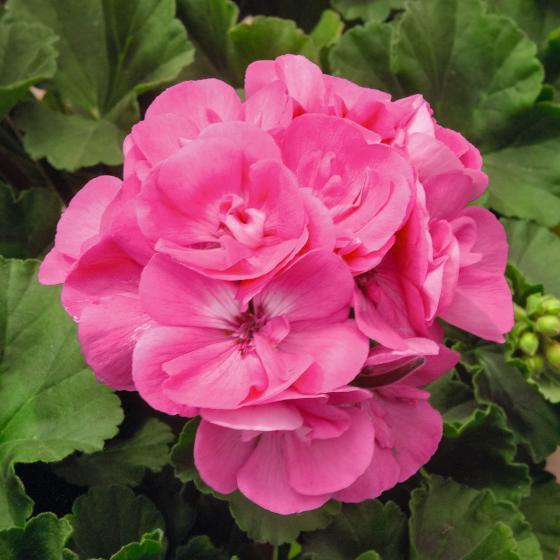 Rosa Geranie Amelie   #3