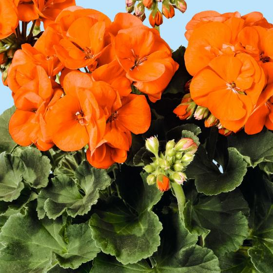 Orange Geranie Guido, im ca. 12 cm-Topf | #3