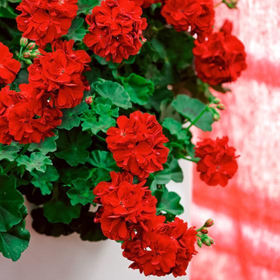 Dunkelrote Hänge-Geranie Royal Dark Red | #3