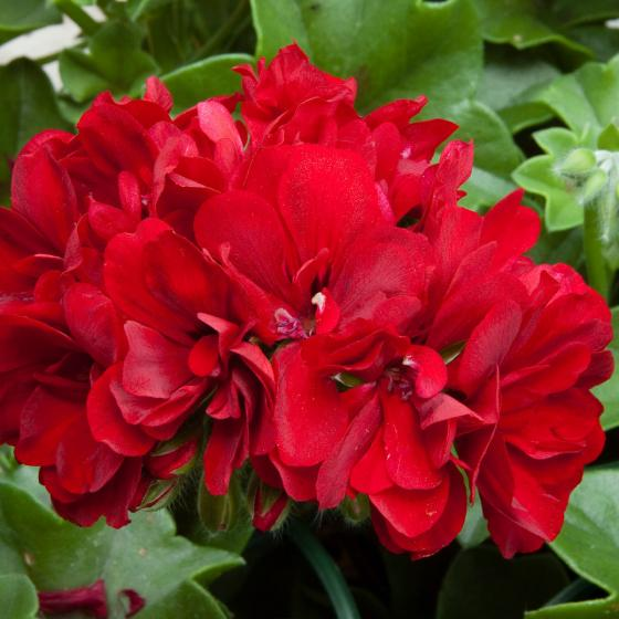 Dunkelrote Hänge-Geranie Royal Dark Red, im ca. 12 cm-Topf | #3