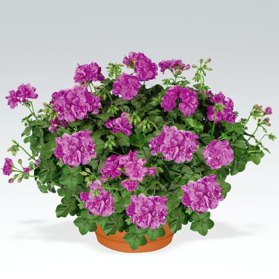 Violette Hänge-Geranie  Amelit, im ca. 12 cm-Topf | #3