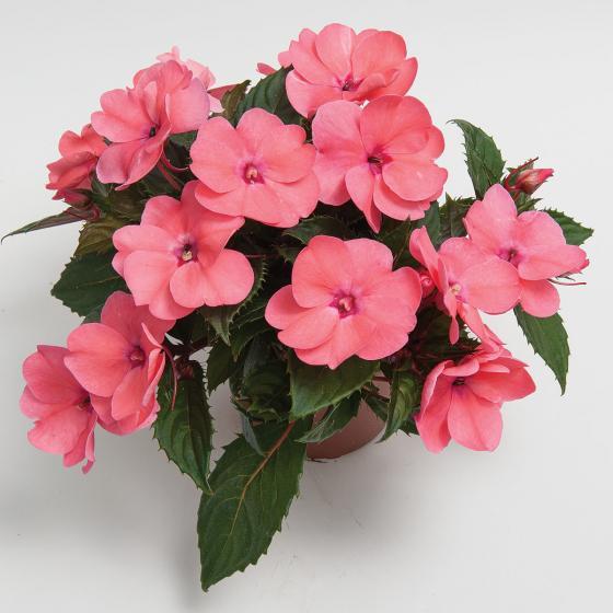 Rosa Fleißiges-Lieschen Sunpation Salomon | #3