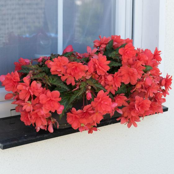 Corallfarbende Begonie Miss Malibu | #3