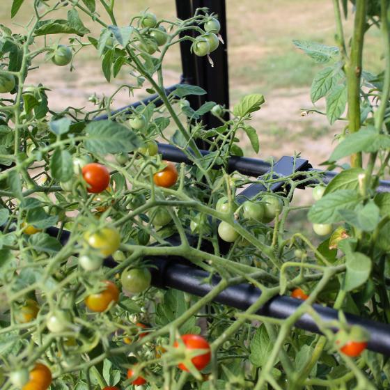 Tomaten-Wachstums-Rahmen | #3