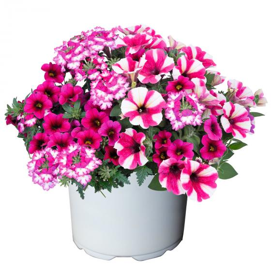 Confetti Garden™ Shocking Hot Pink, im ca. 12 cm-Topf   #3