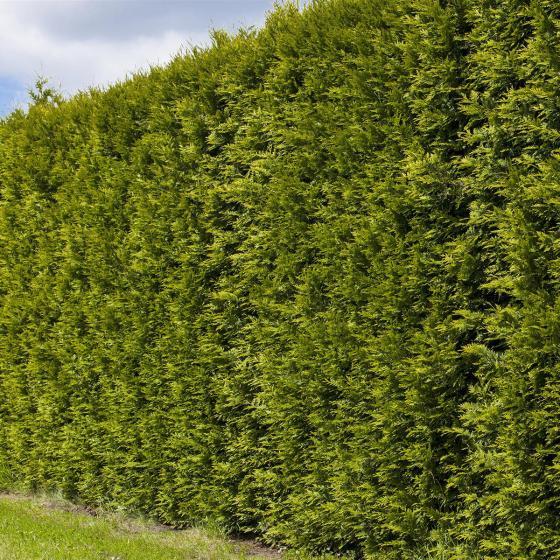 Gärtner Pötschkes Premium Lebensbaum Smaragd, 120-140cm | #3