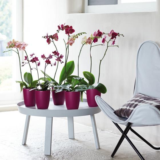 ELHO Orchideengefäß Brüssel, rund, 15,2x12,7x12,7 cm, kirsche | #3