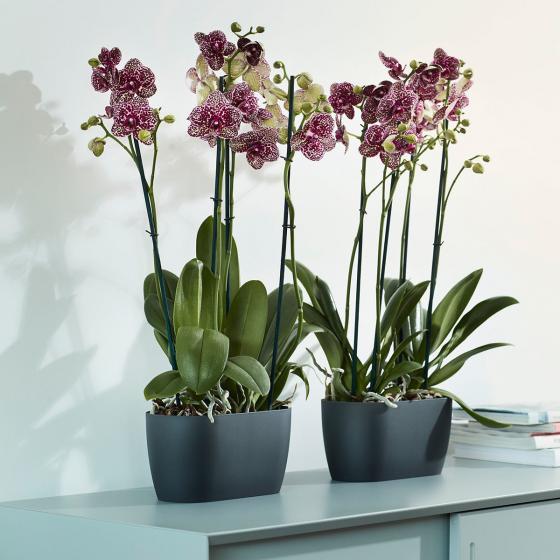 ELHO Orchideengefäß Brüssel Duo, 12,6x13x25 cm, kirsche | #3