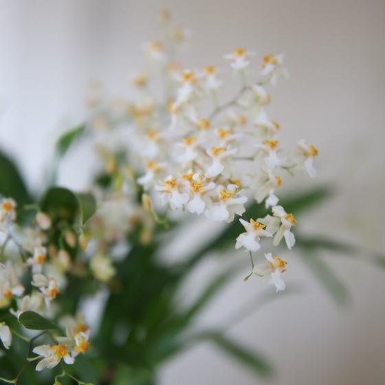 Tigerorchidee Tiny Twinkle, im ca. 11 cm-Topf | #3