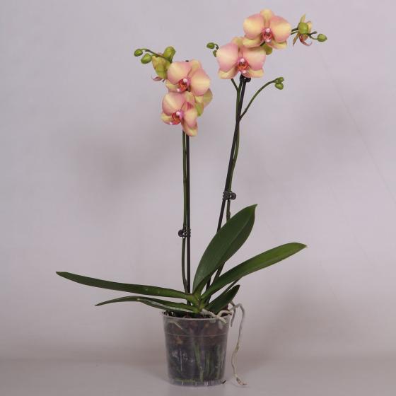 Gelbe Schmetterlings-Orchidee, im ca. 12 cm-Topf   #3