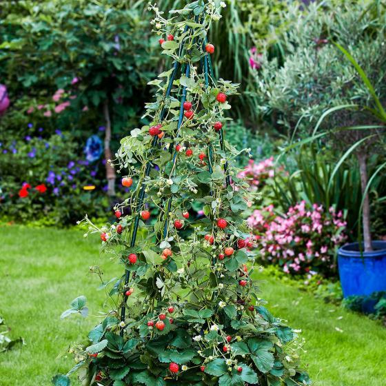 Erdbeerpflanze Klettererdbeere KletterToni | #3