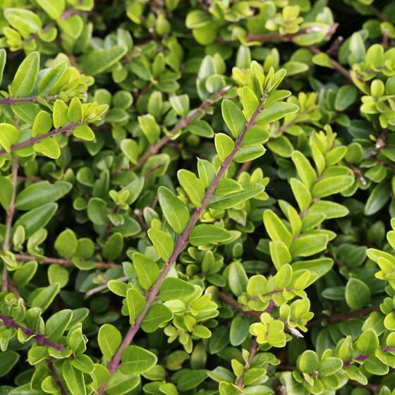 Heckenmyrte Maigrün, im ca. 9 cm-Topf | #3