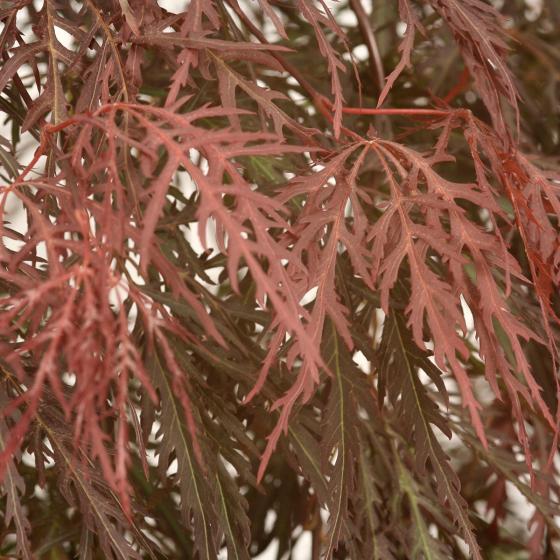 Fächerahorn Garnet, im ca. 19 cm-Topf | #3
