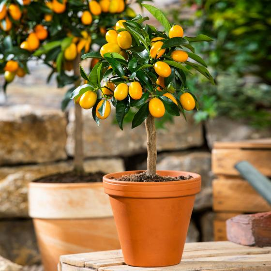 Calamondin-Orange Stämmchen, klein | #3