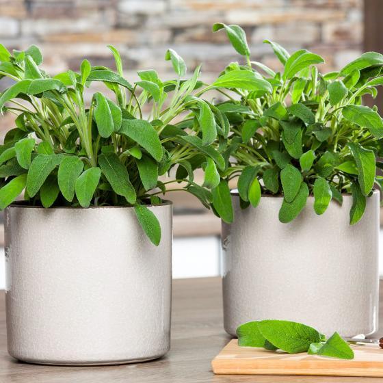 Zimmerpflanze Salbei   #3