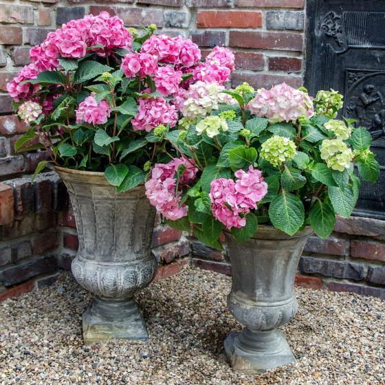 Hortensie Endless Summer® The Original, rosa, XL-Qualität | #3