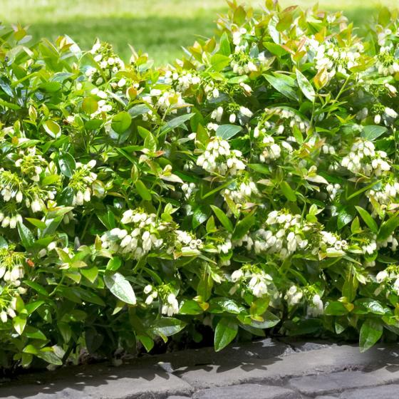 Heidelbeere BrazelBerry® Berry Bux® - Laufender Meter, 6 Pflanzen | #3