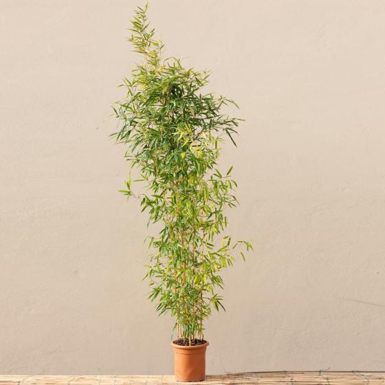 Bambus Aureocaulis, im 10-Liter-Topf | #3