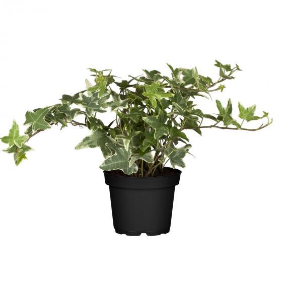 Weißgrüner Efeu, im ca. 9 cm-Topf | #3