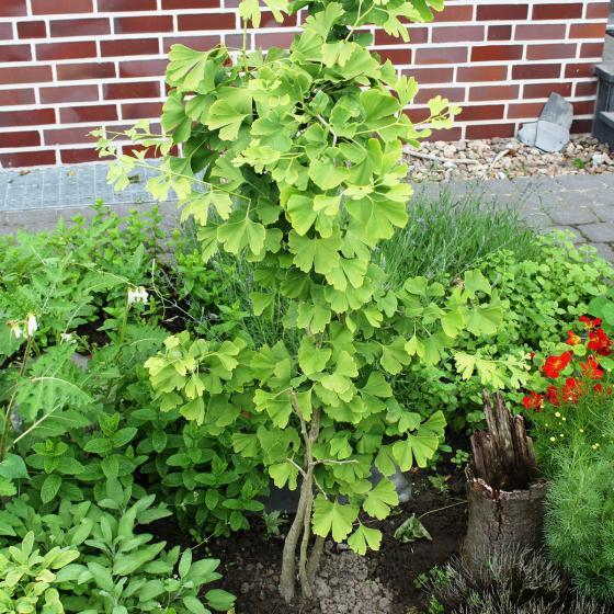 BIO Kräuterpflanze Uralter Ginkgo, im ca. 12 cm-Topf | #3