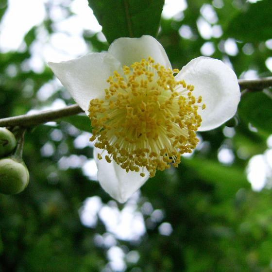 Blu Bio Echte Tee-Pflanze | #3