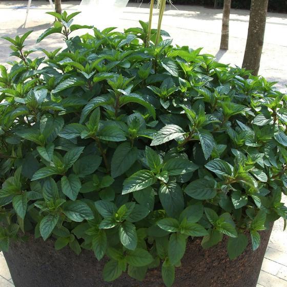 BIO Kräuterpflanze Schoko-Minze, im ca. 12 cm-Topf | #3