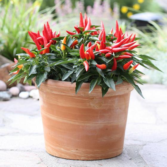 Blu Bio-Gemüsepflanze Chili Naschzipfel | #3