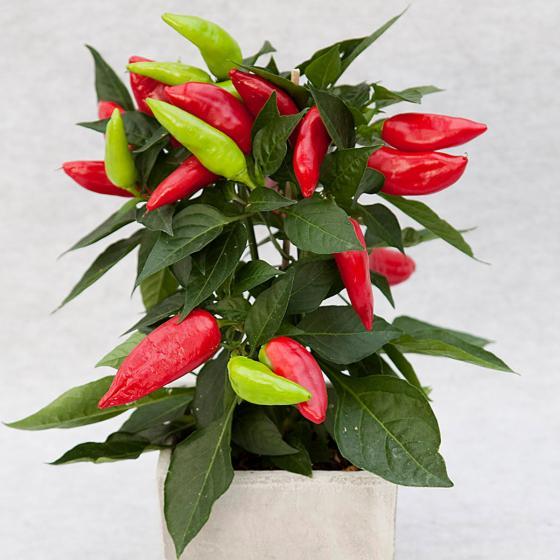 Blu Bio-Gemüsepflanze Snack Chili | #3