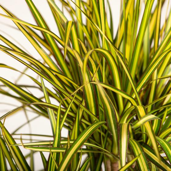 Drachenbaum Sunray, 2er Tuff, im ca. 17 cm-Topf | #3