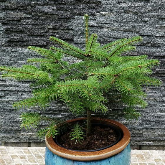 Echte Nordmanntanne, Baumschulqualität im Topf gewachsen, 30-50 cm | #3