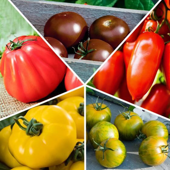 Sortiment Bunte Stab-Tomatenpflanzen, veredelt, 5 Stück | #3