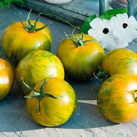 Tomatenpflanze Tiverta, veredelt, im ca. 12 cm-Topf | #3