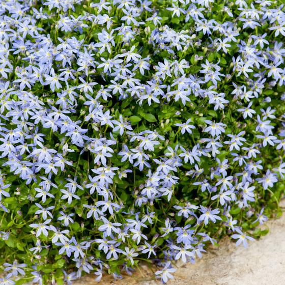 Blauer Bubikopf | #3