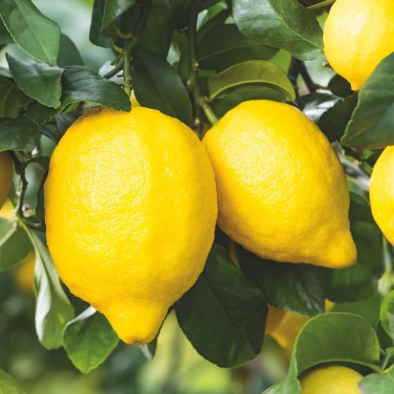Zitronen-Stamm, im ca. 17 cm-Topf | #3