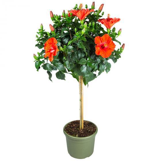 Roter Hibiskus-Stamm, im ca. 19 cm-Topf | #3