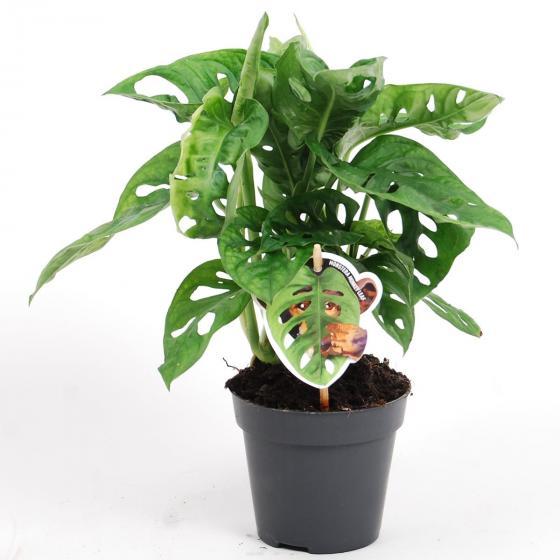 Fensterblatt Monkey Leaf, im ca. 12 cm-Topf | #3