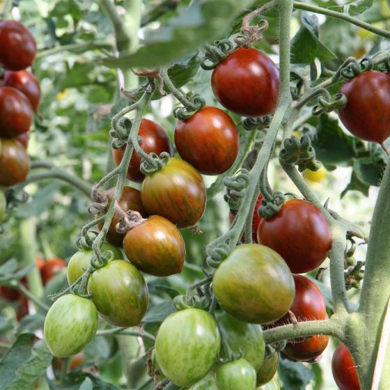 BIO Gemüsepflanze Tomate Balkonia, im ca. 12 cm-Topf | #3