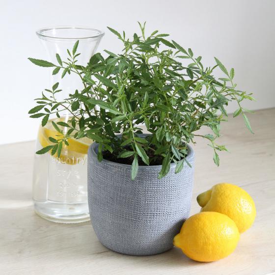 BIO Kräuterpflanze Zitronen-Tagetes, im ca. 12 cm-Topf | #3