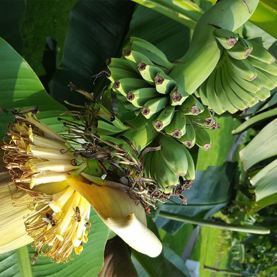 Bio-Banane, winterhart | #3
