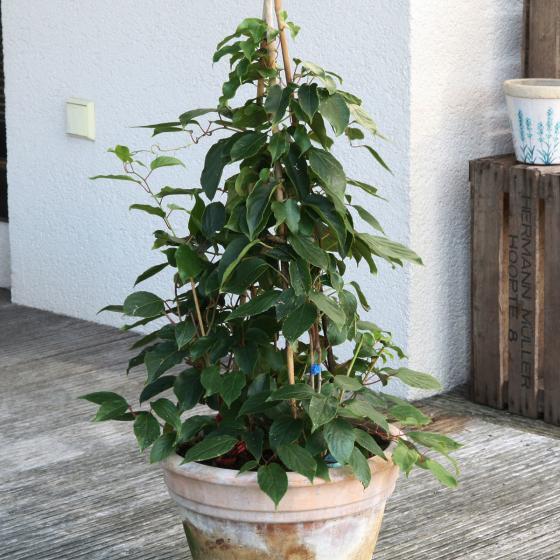 BIO Obstpflanze Mini-Kiwi weiblich, im ca. 12 cm-Topf | #3