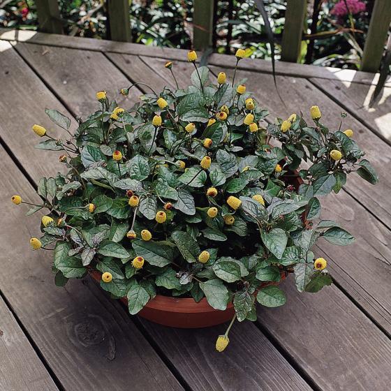BIO Kräuterpflanze Prickelknöpfchen, im ca. 12 cm-Topf | #3