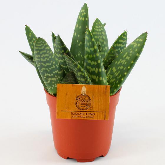 Aloe Jurassic Dino, im ca. 11 cm-Topf | #3